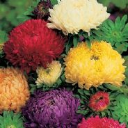 Aster Duchess formula mix - Paeony flowered - 1 - 50g